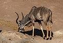 Gran kudús (Tragelaphus strepsiceros), parque nacional de Chobe, Botsuana, 2018-07-28, DD 55.jpg