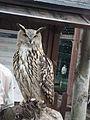 Granada-Parque de las Ciencias-Exhibición de rapaces-Búho real (Bubo bubo, Aves Estrigiformes Estrígidos).JPG