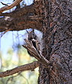 Grand Canyon National Park North Rim - Kaibab Squirrel 0216.jpg