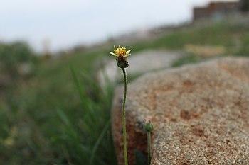 Grassflower.jpg
