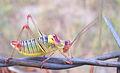 Grasshopper Eflani.jpg