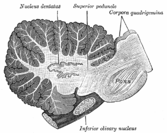 Deep cerebellar nuclei - Sagittal section through right cerebellar hemisphere. The right olive has also been cut sagittally. (Nucleus dentatus labeled at center top.)