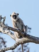 Gray Langur Tree Mudumalai Mar21 DSC01421.jpg