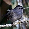 Gray catbird (Dumetella carolinensis).JPG