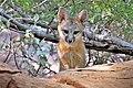 Gray fox kit (50090843607).jpg