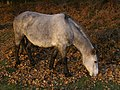 Grazing pony at Pig Bush, New Forest - geograph.org.uk - 608880.jpg
