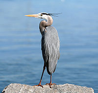 Great Blue Heron On Rock1.jpg
