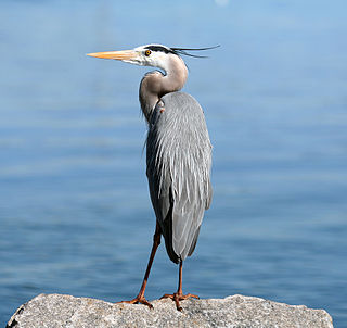<i>Ardea</i> (bird) Genus of birds