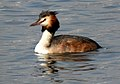 Great Crested Grebe Podiceps cristatus by Dr. Raju Kasambe DSCN9040 (3).jpg