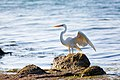 Great white heron (18998133870).jpg