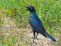 Greater Blue-eared Starling (Lamprotornis chalybaeus) (6035291901).jpg