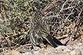 Greater Roadrunner Sweetwater Wetlands Tucson AZ 2017-04-21 07-55-36 (34323319675).jpg