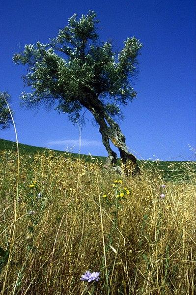 File:Greece Plants, trees, fruit and veg (84359670).jpg