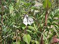Green Veined White (Pieris napi) (7580756310).jpg
