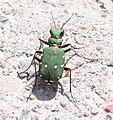 Green bug2.jpg