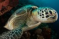 Green turtle portrait 3 lekuan 1, siladen, indonesia (35023818545).jpg