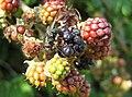 Greenbottle on Blackberries - geograph.org.uk - 935119.jpg