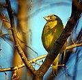 Greenfinch (23279918974).jpg