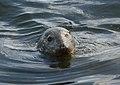 Grey Seal, Dunoon, Scotland (4932697233).jpg