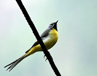 Grey wagtail - Male M. c. melanope