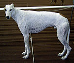 Greyhound 894.jpg