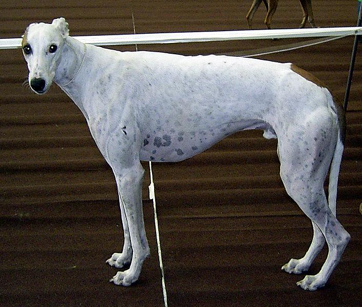 Fichier:Greyhound 894.jpg