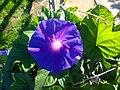 Gros plan sur une fleur bleue en Corse (face).jpg