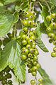 Grosello rojo (Ribes rubrum), Múnich, Alemania, 2012-06-07, DD 01.jpg