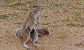 Ground Squirrel (Xerus inauris) female (6451402177).jpg