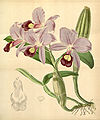 Guarianthe skinneri (as Cattleya skinneri) - Curtis' 72 (Ser. 3 no. 2) pl. 4270 (1846).jpg