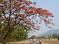 Gulmohar tree 88.jpg