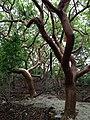 Gumbo Limbo Trees - panoramio.jpg