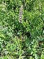 Gymnadenia conopsea (s. lat.) sl12.jpg