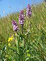Gymnadenia conopsea 030710.jpg