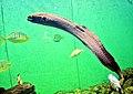 Gymnothorax javanicus 2 prg.jpg
