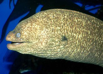 California moray - Image: Gymnothorax mordax 1