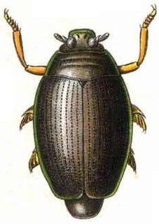Whirligig beetle Family of beetles