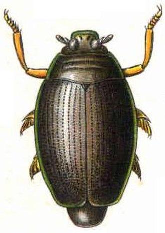Whirligig beetle - Gyrinus natator, 1909 illustration