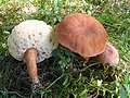 Gyroporus castaneus 55033.jpg