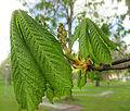 Hästkastanj (Aesculus hippocastanum) i Plantis, Falköping 9593.jpg