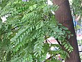 HK 灣仔 Wan Chai 皇后大道東 Queen's Road East tree green leaves October 2017 IX1 格木 Erythrophleum fordii 02.jpg
