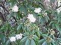 HK 香港島 南區 South District 壽臣山村道 22 Shouson Hill Road white flowers April-2011.JPG