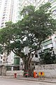 HK 香港 半山區 Mid-levels 列堤頓道 Lyttelton Road 巴威大廈 Babington House banyan tree April 2017 IX1.jpg