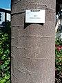 HK CWB 銅鑼灣 Causeway Bay 維多利亞公園 Victoria Park tree trunk n green leaves December 2019 SSG 25.jpg