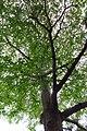 HK Shek Tong Tsui 中西區 Western District 豐物道 Fung Mat Road tree 欖仁樹 Terminalia mantaly April 2018 IX2 03.jpg