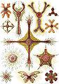 Haeckel Discoidea.jpg