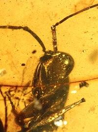 Haidomyrmex scimitarus AMNH-BUFB80 01.jpg