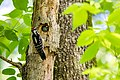 Hairy woodpecker (26710652006).jpg