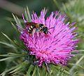 Halictus scabiosae (female) - Flickr - S. Rae (1).jpg