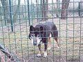 Hallstromhund - schwarz.JPG
